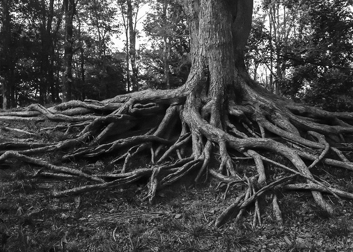 Gnarled Three Roots Black and White