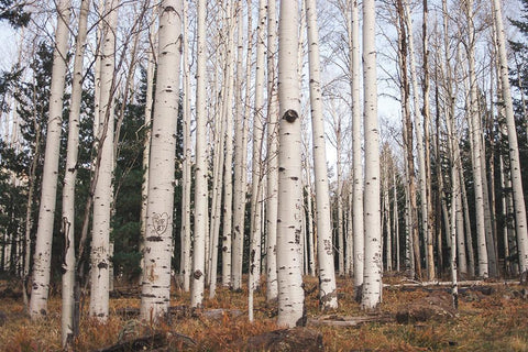 Trees of Reason, Birch Trees, Arizona Photography - Fine Art Print Lost Kat Photography