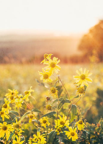 Yellow Aster at Sunset, Colorado - Fine Art Print Lost Kat Photography
