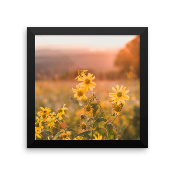 Yellow Aster Flowers at Sunset - Framed Photo Print 10×10 Lost Kat Photography