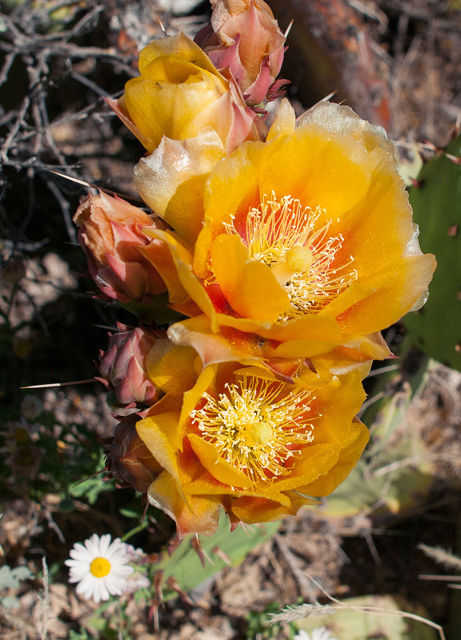 Yellow Cactus Flower, Joshua Tree National Park