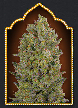 00 Cheese Feminised Seeds - BITCOINSEEDSHOP