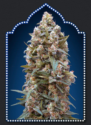 00 Kush Feminised Seeds - BITCOINSEEDSHOP