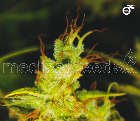 2046 Feminised Seeds - BITCOINSEEDSHOP
