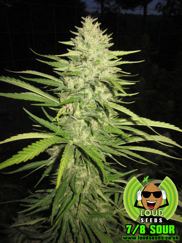 7/8 Sour Regular Seeds - BITCOINSEEDSHOP