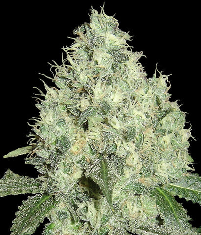 91 Krypt Regular Seeds - Limited Collection - BITCOINSEEDSHOP