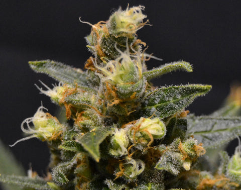 A-K Feminised Seeds - BITCOINSEEDSHOP