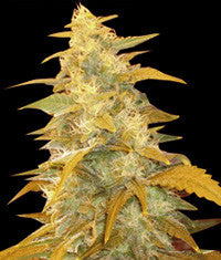 Afghan Kush Regular Seeds - BITCOINSEEDSHOP