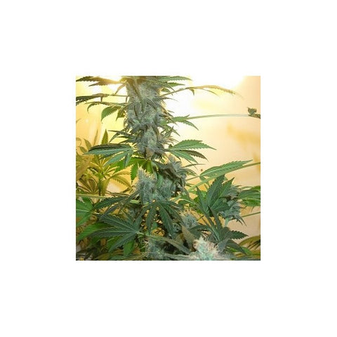 AK48 Feminised Seeds - 5 - BITCOINSEEDSHOP