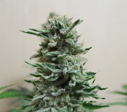 AK Skunk AUTO Feminised Seeds - BITCOINSEEDSHOP