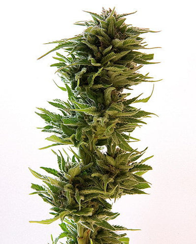 Amnesia Lemon Feminised Seeds - BITCOINSEEDSHOP