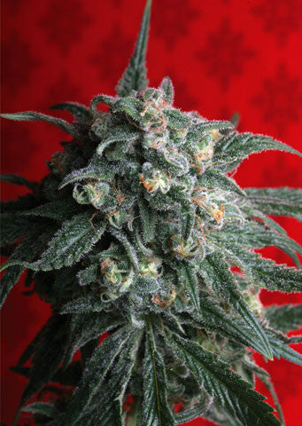A-Train Feminised Seeds - BITCOINSEEDSHOP
