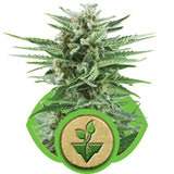 Easy Bud Automatic Feminised Seeds - BITCOINSEEDSHOP - 2