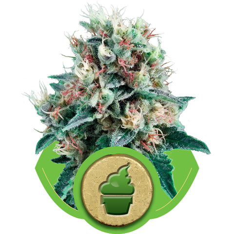 Royal Creamatic Automatic Feminised Seeds - BITCOINSEEDSHOP