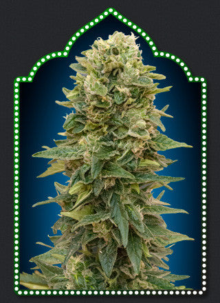 Auto Afghan Mass Feminised Seeds - BITCOINSEEDSHOP