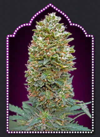 Auto Bubble Gum Feminised Seeds - BITCOINSEEDSHOP
