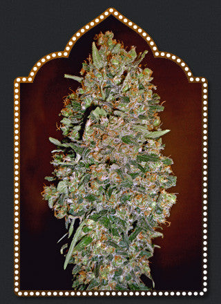 Auto Chocolate Skunk Feminised Seeds - BITCOINSEEDSHOP