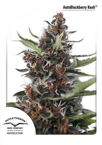 Auto Blackberry Kush Feminised Seeds - BITCOINSEEDSHOP