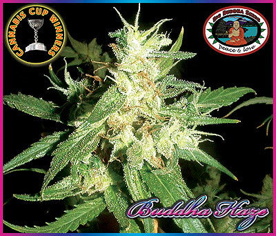 Buddha Haze Feminised Seeds - BITCOINSEEDSHOP