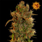 8 Ball Kush Feminised Seeds - BITCOINSEEDSHOP