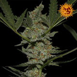 Acapulco Gold Feminised Seeds - BITCOINSEEDSHOP