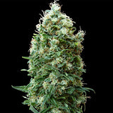 Phatt Fruity Regular Seeds - BITCOINSEEDSHOP - 2