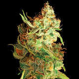 Red Dragon Regular Seeds - BITCOINSEEDSHOP - 4