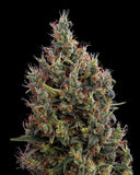 Big Bang Auto-flowering Feminised Seeds - BITCOINSEEDSHOP - 2