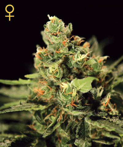 Big Bang Auto-flowering Feminised Seeds - BITCOINSEEDSHOP - 1