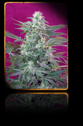 Big Foot Feminised Seeds - BITCOINSEEDSHOP