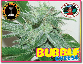 Bubble Cheese Feminised Seeds - BITCOINSEEDSHOP