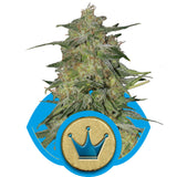 Royal Highness Feminised Seeds - BITCOINSEEDSHOP - 2