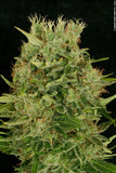 Chocolope Regular Seeds - BITCOINSEEDSHOP - 5