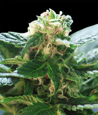 Colombian Gold Feminised Seeds - BITCOINSEEDSHOP - 1