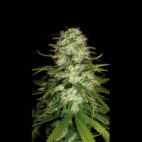 CR+ Feminised Seeds - BITCOINSEEDSHOP