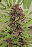 Frisian Dew Feminised Seeds - BITCOINSEEDSHOP - 3