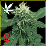 K-Train Feminised Seeds - BITCOINSEEDSHOP - 1