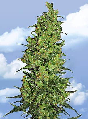 Temple Haze Feminised Seeds - BITCOINSEEDSHOP