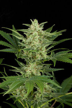 Critical Jack Automatic Feminised Seeds - BITCOINSEEDSHOP