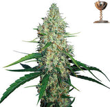 G13 Haze Regular Seeds - BITCOINSEEDSHOP - 1