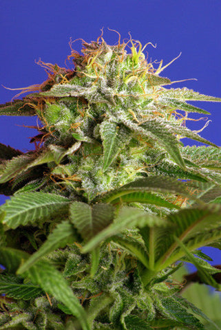 Green Poison Feminised Seeds - BITCOINSEEDSHOP