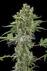 Moby Dick Automatic Feminised Seeds - BITCOINSEEDSHOP