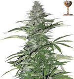 Morning Glory Regular Seeds - BITCOINSEEDSHOP - 1