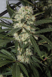 Outdoor Mix Feminised Seeds - BITCOINSEEDSHOP - 1