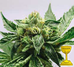 MK Ultra Feminised Seeds - BITCOINSEEDSHOP