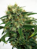 Phatt Fruity Regular Seeds - BITCOINSEEDSHOP - 1