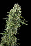Outdoor Mix Feminised Seeds - BITCOINSEEDSHOP - 4