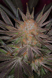 Qrazy Train Regular Seeds - BITCOINSEEDSHOP - 1