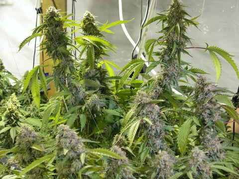 ReCon Regular Seeds - BITCOINSEEDSHOP - 1