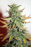Auto Great White Feminised - BITCOINSEEDSHOP - 1